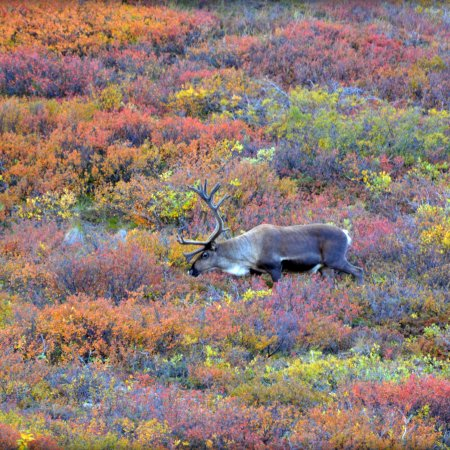 Caribou in Autumn by blmiers2