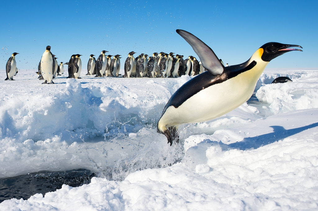 Penguin in Antarctica jumping out of the water by Christopher Michel