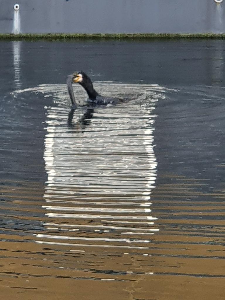 A bird feeding on Regent's Canal